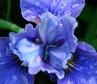 Iris sibirica (probably 'Yankee Doodle Boy'