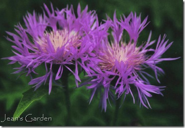 Unk nown flower, Kew Gardens, 2000 (photo credit: Jean Potuchek)