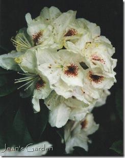 Rhododendron bloom, Kew Gardens, 2000 (photo credit: Jean Potuchek)