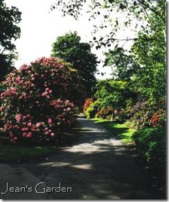 Rhododendrons, Kew Gardens, 2000 (photo credit: Jean Potuchek)