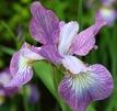 Iris sibirica 'Lavender Bounty'