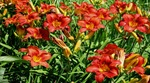 Hemerocallis 'Mid-Winter Fire,' Montreal Botanical Gardens