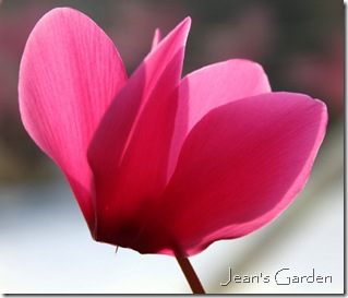 Pink cyclamen bloom (phot credit: Jean Potuchek)