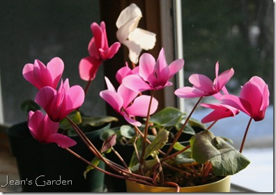Pink cyclamen blooming on window ledge (photo credit: Jean Potuchek)