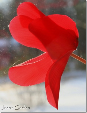 red cyclamen bloom (photo credit: Jean Potuchek)