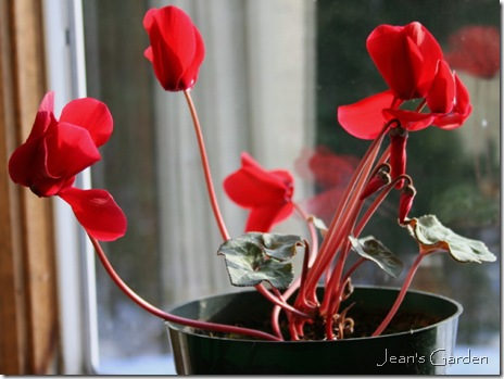 red cyclamen (photo credit: Jean Potuchek)