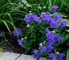 Platycodon grandiflora 'Sentimental Blue'