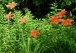 Hemerocallis fulva (tawny daylily)