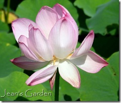 Lotus bloom, Montreal Botanical Garden (photo credit: Jean Potuchek)
