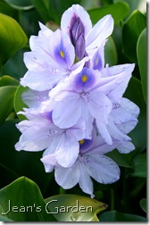 Water Hyacinth, Montreal Botanical Garden (photo credit: Jean Potuchek)
