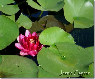 Water Lily, Montreal Botanical Garden (photo credit: Jean Potuchek)