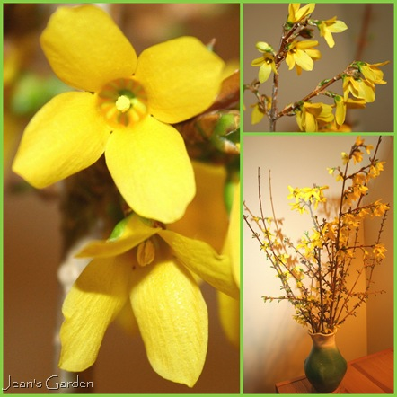 Forced Forsythia (photo credits: Jean Potuchek)