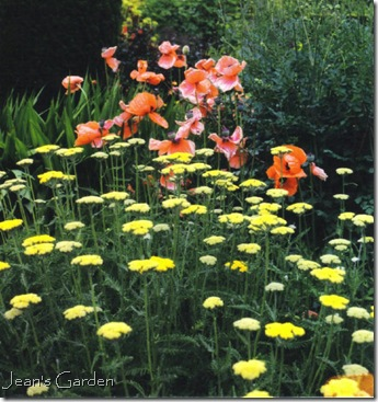 Papaver and Achillea at Sissinghurst (photo credit: Jean Potuchek)