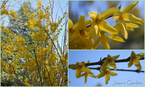 April Forsythia Collage (photo credit: Jean Potuchek)