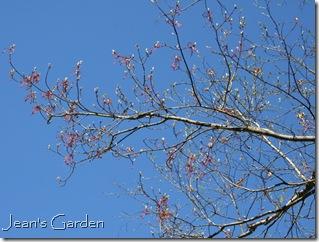 Birch blooms (photo credit: Jean Potuchek)