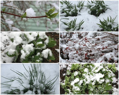 Spring growth in snow (photo credit: Jean Potuchek)