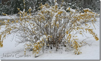 Forsythia in snow (photo credit: Jean Potuchek)
