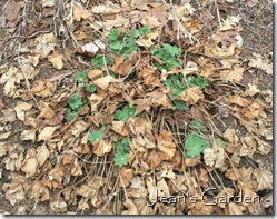 Old foliage hiding new growth (photo credit: Jean Potuchek)