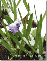 Hyacinth in snow (photo credit: Jean Potuchek)