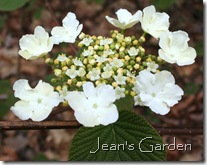 Viburnum bloom (photo credit: Jean Potuchek)