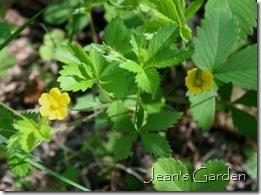 Waldsteinia fragarioides (photo credit: Jean Potuchek)