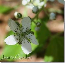 Rubus allegheniensis (photo credit: Jean Potuchek)