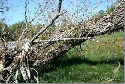 New growth on fallen trunk (photo credit: Jean Potuchek)