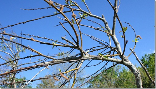 New leaves (photo credit: Jean Potuchek)