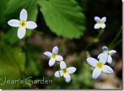 Houstonia caerulea (photo credit: Jean Potuchek)