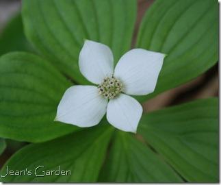 Cornus canadensis (photo credit: Jean Potuchek)