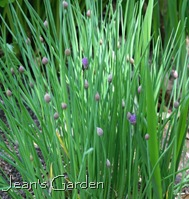 Chives (photo credit: Jean Potuchek)