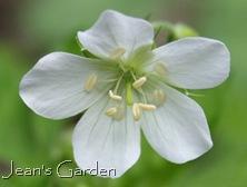 Geranium maculatum 'Album' (photo credit: Jean Potuchek)