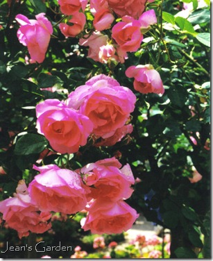 Climbing roses at Giverny (photo credit: Jean Potuchek)