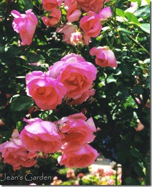 Climbing roses at Giverny (photo credit: Jean Potuchek)
