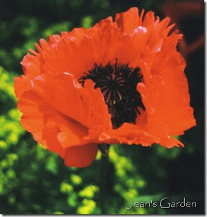 Red poppy at Giverny (photo credit: Jean Potuchek)