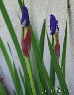 Early buds on Iris sibirica (photo credit: Jean Potuchek)