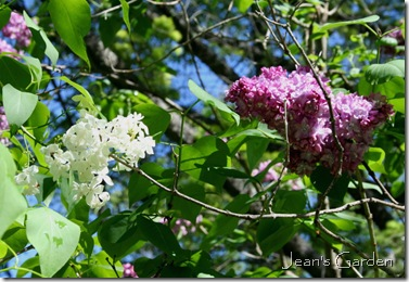 Lilacs in bloom at the McLaughlin Garden (photo credit: Jean Potuchek)