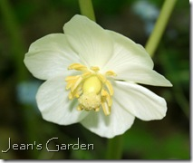 Mayapple flower - McLaughlin Garden (photo credit: Jean Potuchek)