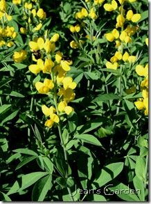 McLaughlin Garden baptisia (photo credit: Jean Potuchek)