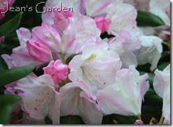 Rhododendron bloom at McLaughlin Garden (photo credit: Jean Potuchek)