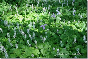 Tiarella at McLaughlin Garden (photo credit: Jean Potuchek)