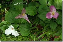 Trillium at McLaughlin Garden (photo credit: Jean Potuchek)