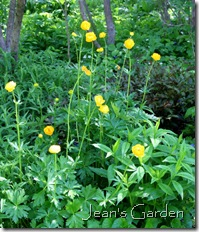 McLaughlin Garden trollius (photo credit: Jean Potuchek)