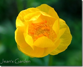 Trollius flower at McLaughlin Garden (photo credit: Jean Potuchek)