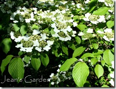 Viburnum in bloom at McLaughlin Garden (photo credit: Jean Potuchek)