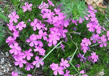Phlox subulata (photo credit: Jean Potuchek)