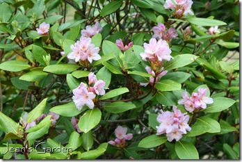 Rhododendron in bloom (photo credit: Jean Potuchek)