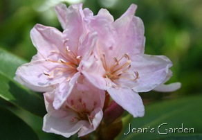 Rhododendron bloom (photo credit: Jean Potuchek)