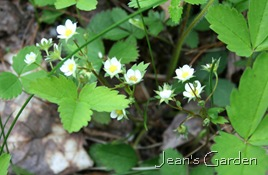 Wild strawberry (Fragaria virginiana) flowers (photo credit: Jean Potuchek)