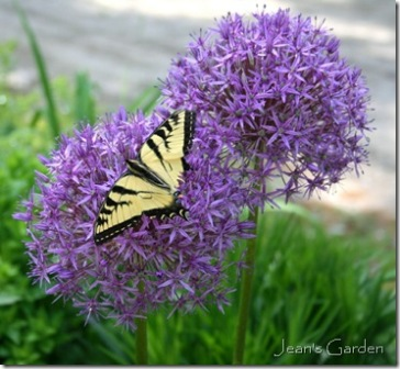 Tiger swallowtail on allium (photo credit: Jean Potuchek)